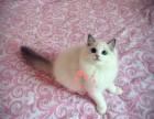 哈尔滨哪里有卖布偶猫的较便宜多少钱一只