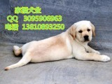 黑色拉布拉多 纯种拉布拉多价格 拉布拉多犬养殖基地 全国包运