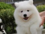 萨摩耶幼犬 纯种健康 疫苗齐全签协议