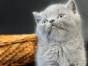脸猫网出售3个月-矮脚-英短-蓝猫-MM
