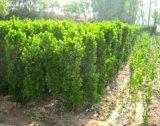 北海道黄杨小苗基地想要优惠的北海道黄杨就来昭鑫花卉苗木