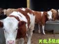 肉牛基地西门塔尔养殖场山西养牛基地