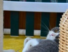 英国短毛猫DD 正八字包子脸 家庭宠物首选