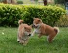 大连哪里有柴犬出售 柴犬哪里的纯种健康 柴犬最好的多少钱