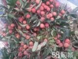 广州增城荔枝园采摘荔枝龙眼园 农庄午餐一二天游