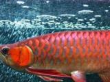 观赏鱼:印尼纯正血统龙鱼/红龙鱼/金龙鱼