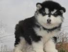 成都本地出售 上门低价 阿拉斯加 疫苗齐全一可看狗