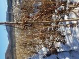 刺嫩芽苗及刺嫩芽种子