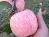红富士苹果价格,陕西红富士苹果批发价格