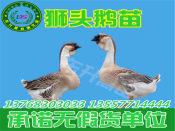 贵州鹅苗——买鹅苗当然是到东升禽苗孵化公司