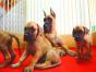 中国较大双血统大丹犬繁殖基地 可实地考察