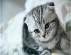 超萌折耳猫找新家啦 疫苗全已驱虫