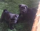 出售两个月左右的黑巴哥幼犬