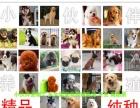 买萨摩耶,纯种萨摩耶犬,适合家养/高端伴侣犬