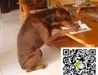 株洲杜宾犬多少钱株洲杜宾犬出售株洲哪能买到纯正的杜宾犬