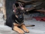 家养一窝纯种德国牧羊犬可以签协议 来家里看狗父母