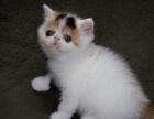 异国短毛猫纯种家养加菲幼猫纯白加菲猫加菲梵文幼猫