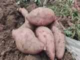 山东济南供应地瓜烟薯25现货