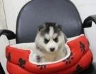 纯血统帅气哈士奇雪橇犬 蓝眼三把火哈士奇狗 保健康