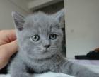 出售 英短蓝猫 2个月弟弟妹妹 包子脸 炒鸡萌