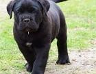 苏州那里有卡斯罗犬卖 苏州卡斯罗犬价格 苏州卡斯罗犬多少钱