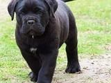 北京哪有卡斯罗犬卖 北京卡斯罗犬多少钱 北京卡斯罗犬图片