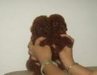 韩国大头红色泰迪幼犬 宠物泰迪健康漂亮小泰迪现货