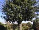 北京70公分皂角树种植基地在哪