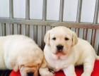 大连哪里有卖拉布拉多 纯种拉布拉多价格 神犬小七原型宠物