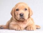 深圳狗狗之家长期出售高品质 拉布拉多 售后无忧