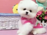 小体英系哈多利球球体袖珍博美犬幼犬宠物狗狗纯种 可上门选购