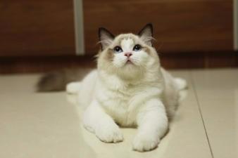 康青名犬出售北京宠物猫布偶猫保健康签协议送货上门