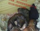 魔王松鼠幼崽出售预定
