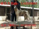 齐齐哈尔市哪里有卖跑场打比赛专用惠比特犬二特犬的