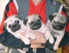 天津最大狗场 特价直销世界名犬 巴哥犬等品种三百起