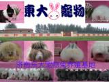 中国专业的大型宠物兔养殖场基地宠物兔批发东大