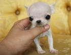 非常漂亮超小的吉娃娃,三色 白色 黄白色
