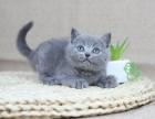 成都哪里有卖宠物猫的成都哪里有猫舍卖蓝猫成都出售蓝猫