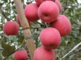 淮安水蜜桃苹果苗 瑞雪苹果苗 品种齐全 现货供应