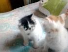 加菲猫,短毛的,非常好的,保你满意