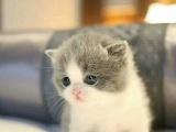 英国短毛猫蓝白正八字脸