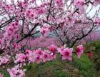 寻访中国美丽的春天,看雪山桃花恣意绽放的浪漫