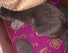 出售自家繁殖健康活泼的蓝猫妹妹