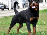 出售纯种罗威纳幼犬警犬德系罗威纳犬幼犬断尾罗威纳犬大型防暴犬
