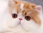 家养纯种加菲猫咪
