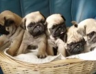 成都狗狗之家长期出售高品质 巴哥 售后无忧