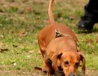 自家大狗生了一窝腊肠犬可以上门看狗父母