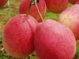 早酥红梨树苗,红梨苗价格,山东梨树苗