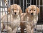 犬舍直销一纯种金毛犬一包纯种保健康一包养活签协议