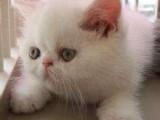 自家繁育高品质加菲猫 包子脸水滴眼 保健康可签协议